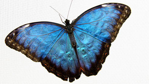 Blue morpho butterfly. Photo © Natural History Museum - nhm.ac.uk