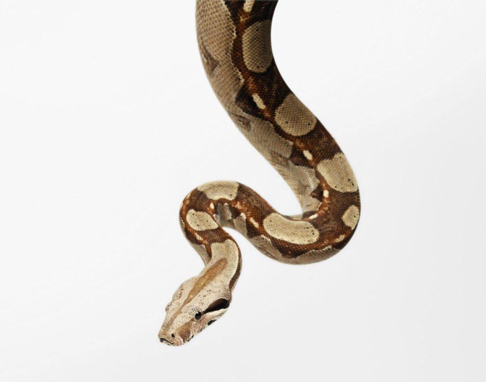 Boa constrictor. Photo © Animal Ark David Manning