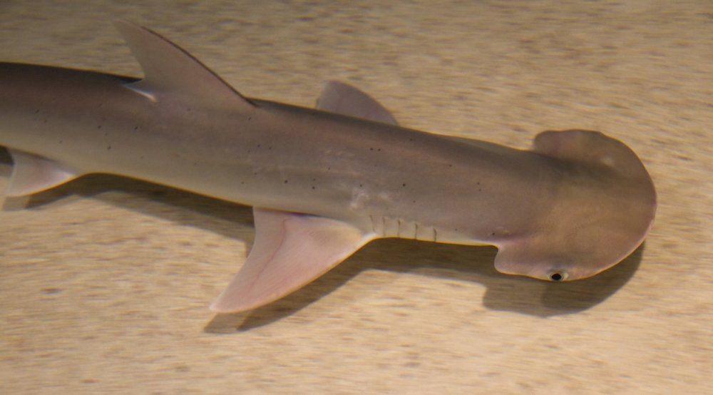 Bonnethead shark (Sphyrna tiburo). Photo: Tony Hisgett, Wikimedia Commons