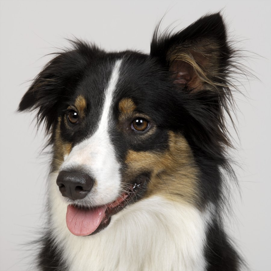 Border collie dog. Photo: Animal Ark