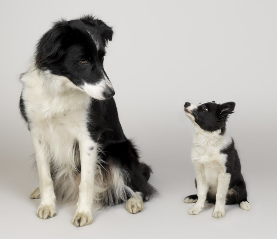 Border collies. Photo: Animal Ark