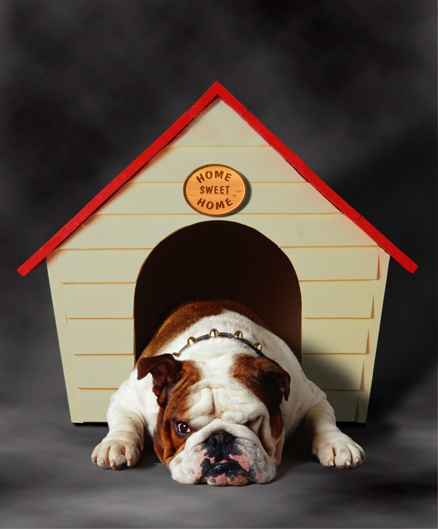 British bulldog and kennel. Photo: Animal Ark