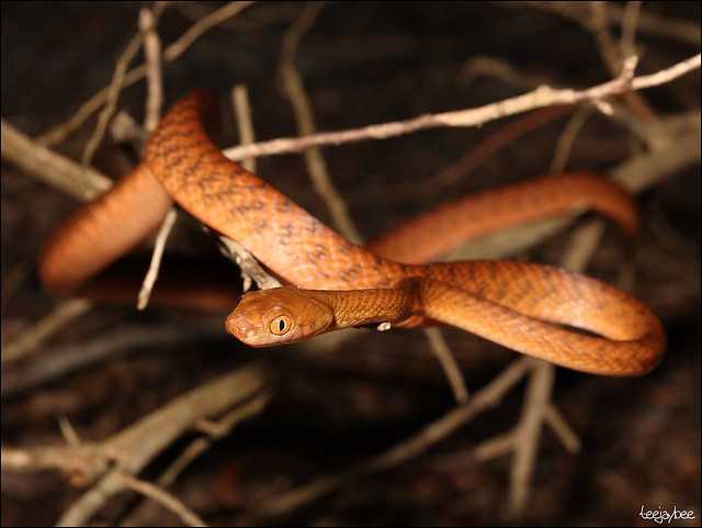 Brown tree snake (Boiga irregularis). Photo © Flickr Teejaybee