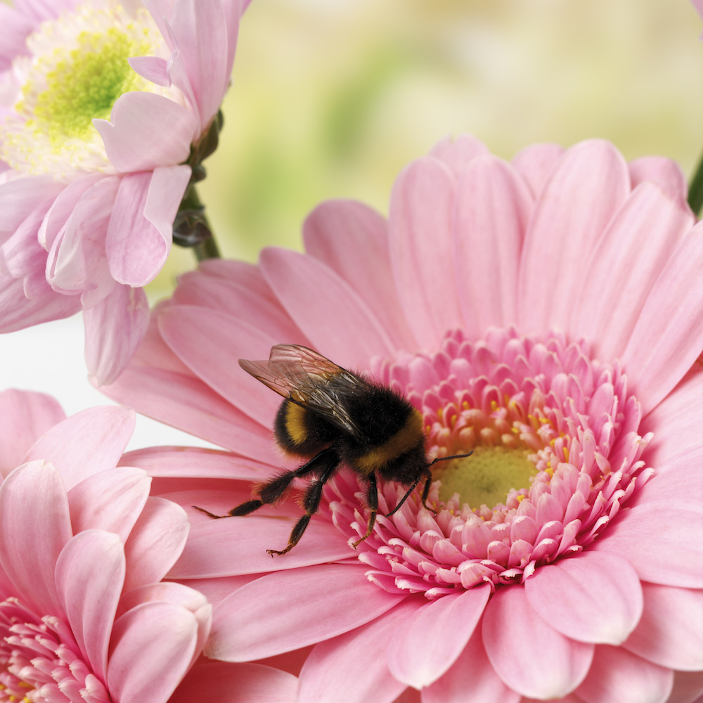 Bumblebee on flower. Photo © Animal Ark