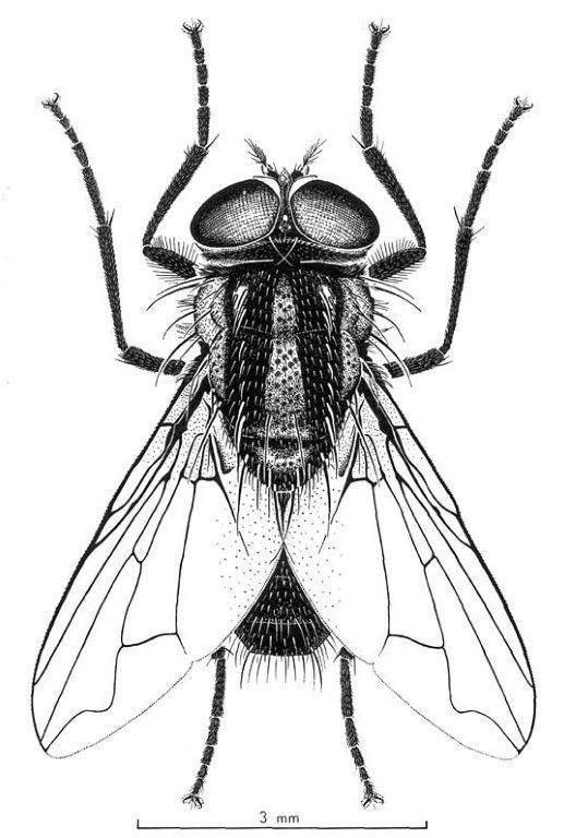 Bush fly. Photo CSIRO