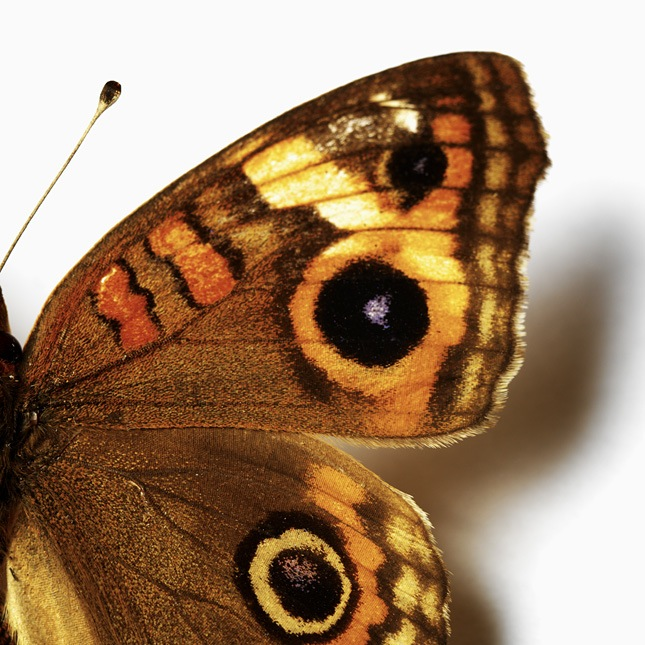 Butterfly wing with eye spots. Photo: Animal Ark