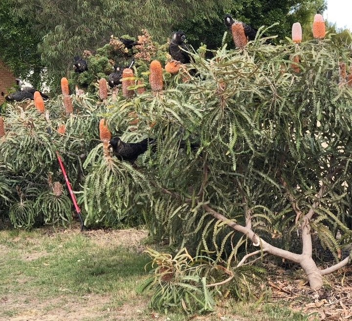 Carnaby black cockatoos feeding on acorn banksia in suburban Perth garden. Photo: Animal Ark