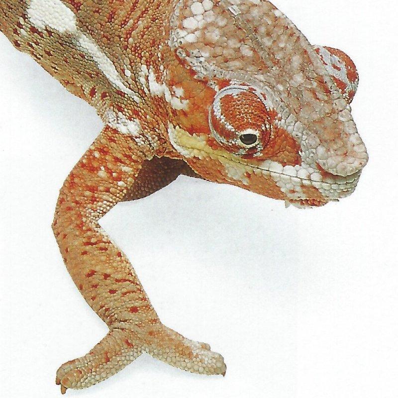 Chameleon foot. Photo Animal Ark