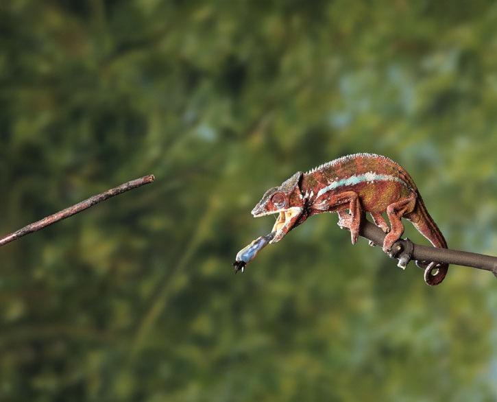 Chameleon. Photo Animal Ark