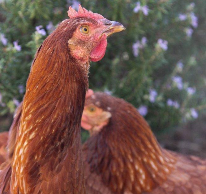 Chicken. Photo: Georgia Manning