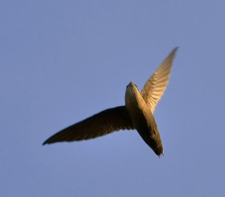 Chimney swift overhead. Photo: Jim McCulloch, Wikimedia Commons