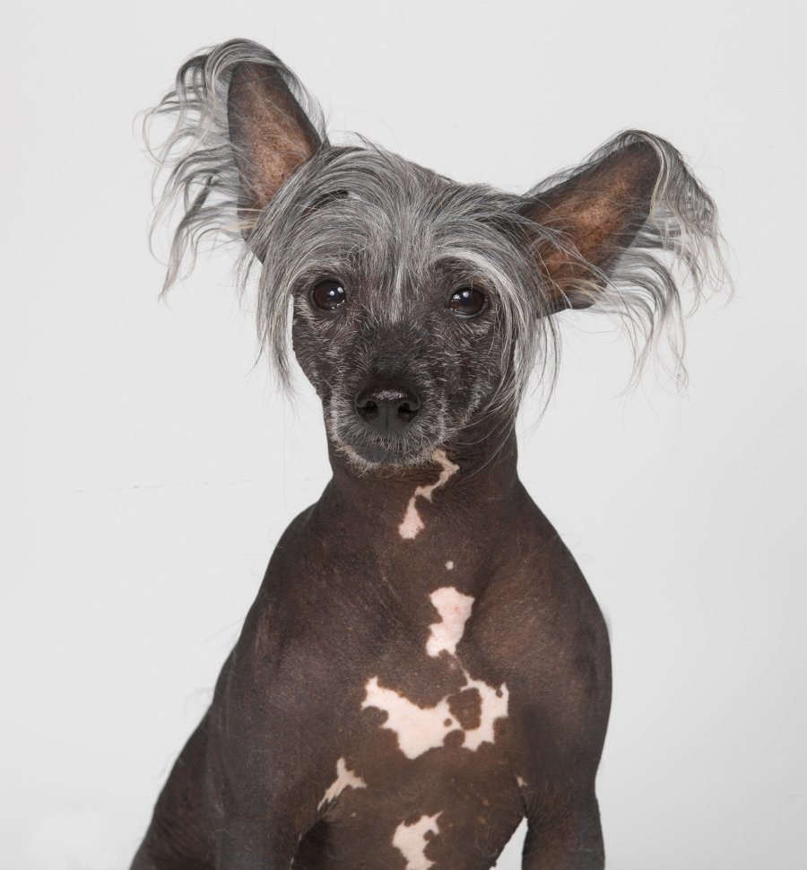 Chinese crested dog. Photo: Animal Ark