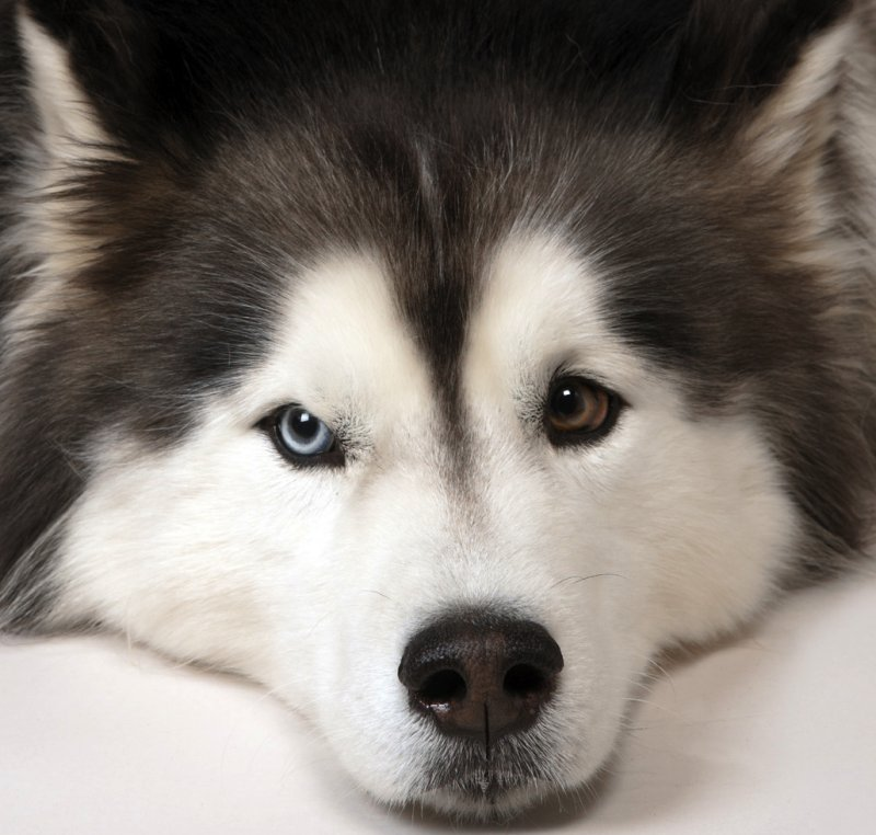 Close up of husky eyes. Photo: Animal Ark