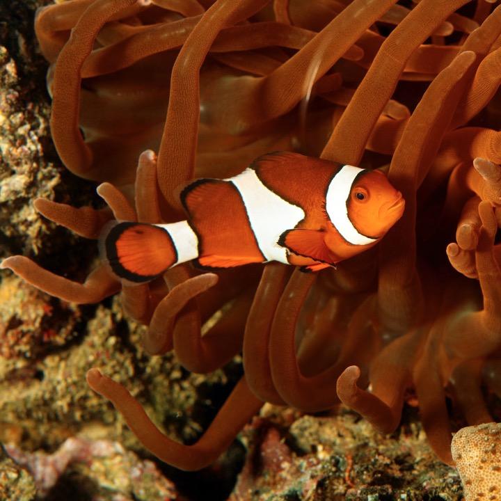 Watching fish has a calming effect - clownfish. Photo Animal Ark