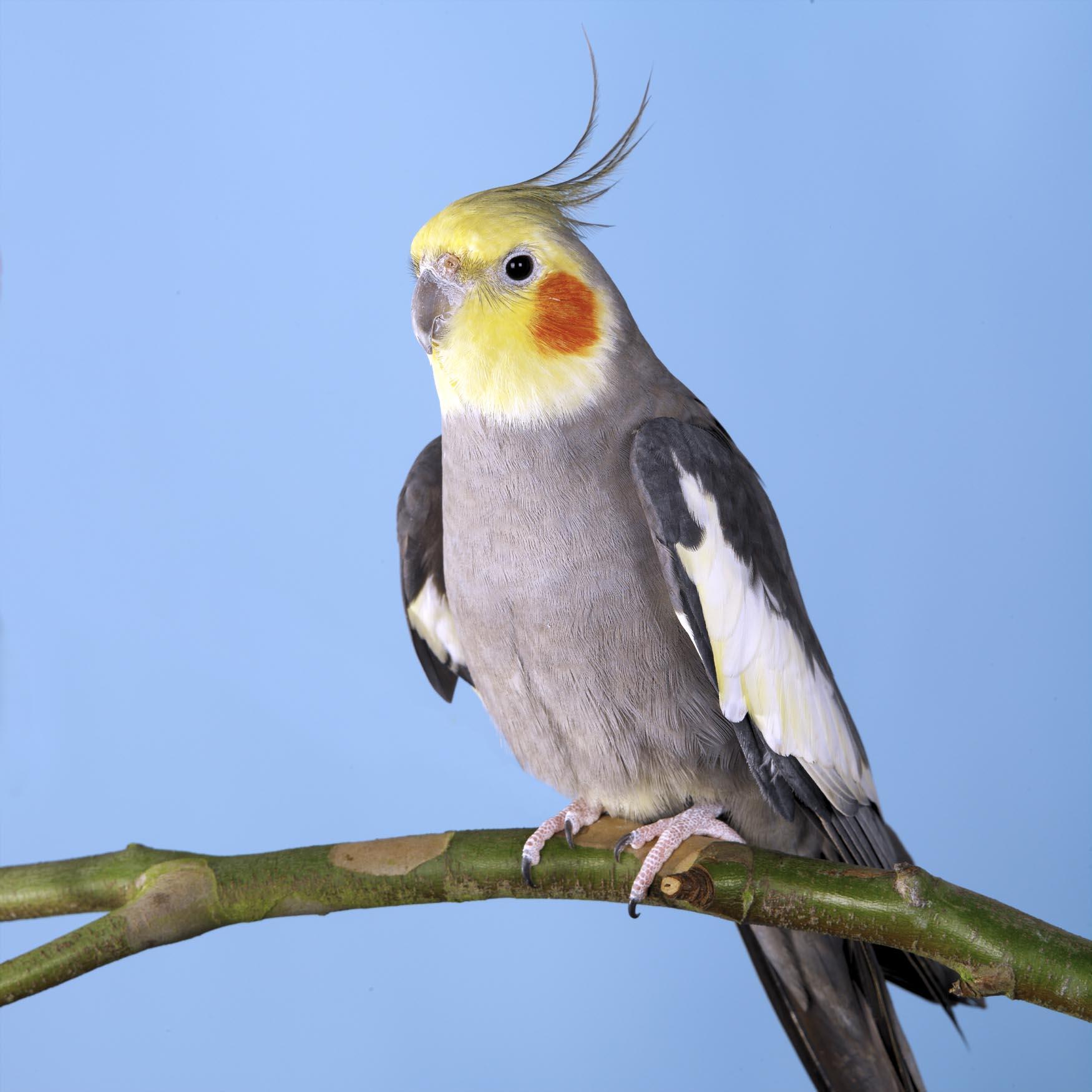 Cockatiel. Photo: Animal Ark