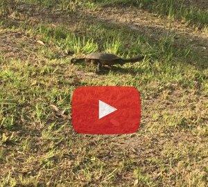 Collies snake neck turtle (Chelodina colliei) in a town park, Denmark WA. Photo: AnimalArk