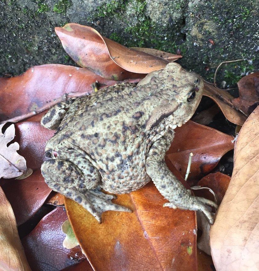 Common toad (Bufo bufo). Photo: Animal Ark