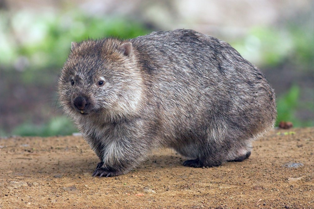 Common wombat (Vombatus ursinus tasmaniensis) Maria Island National Park, Tasmania Photo: JJ-Harrison, Wikimedia Commons