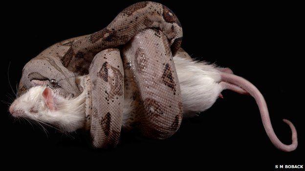 Boa constrictor - Constriction of prey. Photo SM Bobak via bbc.com