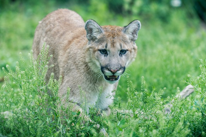 Cougar mountain lion walking in tall grass. Photo: Eric Kilby, Commons Wikimedia