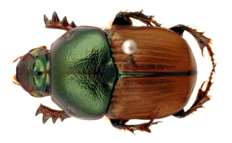 CSIRO ScienceImage Bronze dung beetle (Onitis alexis) introduced to Australia. Photo: Wikimedia Commons