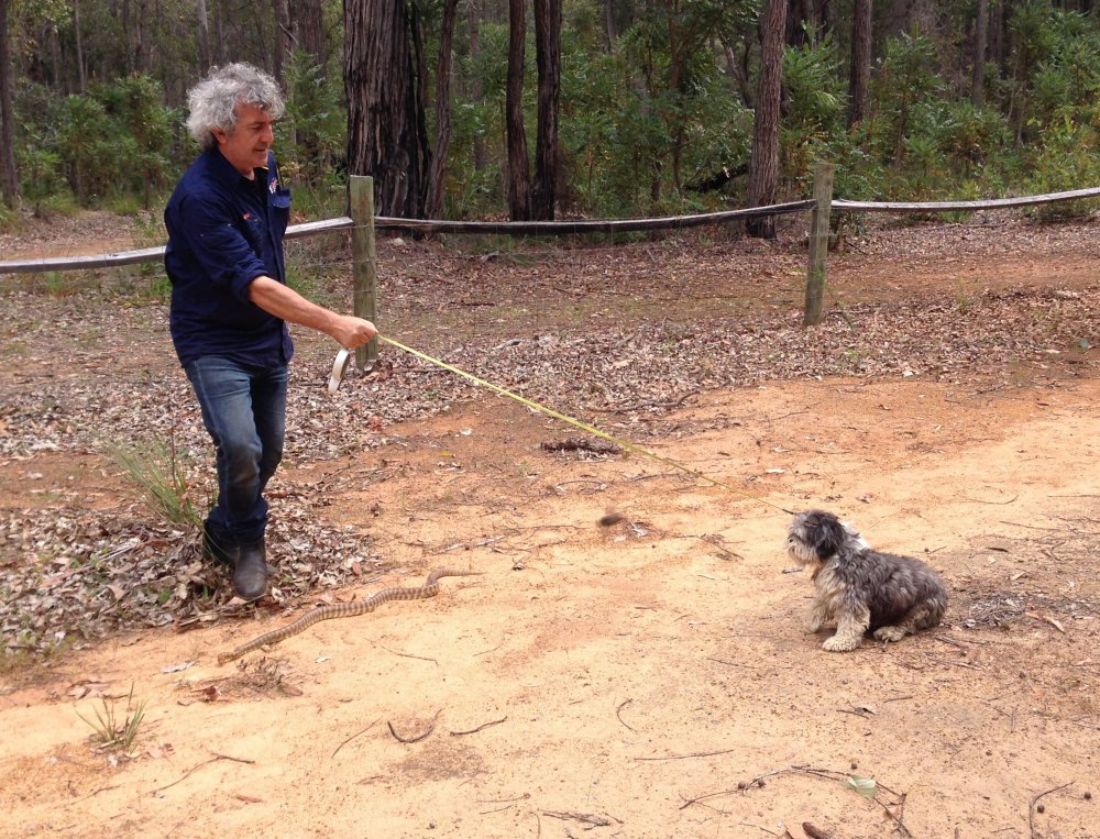 David Manning - Snake avoidance training. Photo: Animal Ark