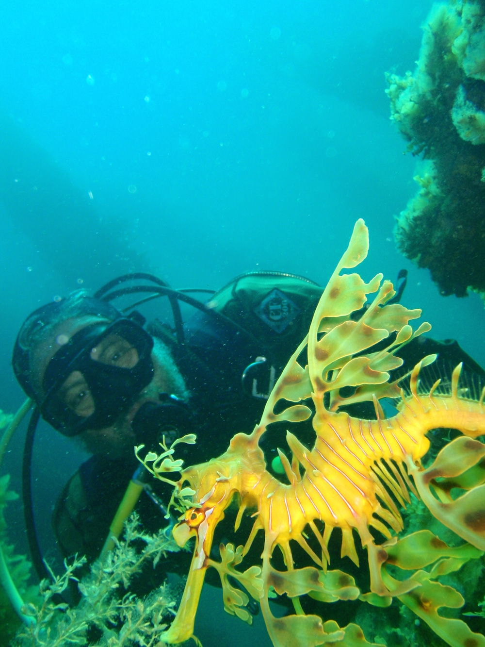 Diver with leafy sea dragon at Rapid Bay jetty. Photo P.B.Southwood, Wikicommons