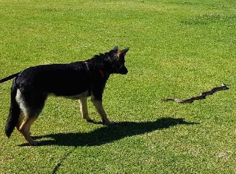 Dog receiving snake avoidance training. Photo: Animal Ark