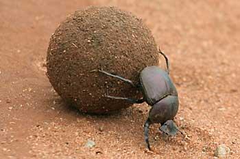 Dung beetle rolling poo. © wildlife-pictures-online.com