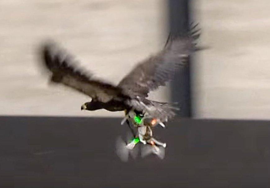 Dutch police train eagles to take down drones. Photo: ABC News