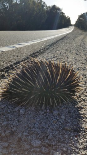 Echidna on road. Photo: Ziggy Nielsen, Animal Ark