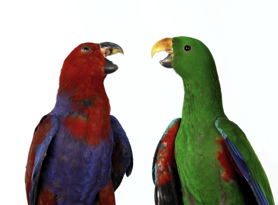 Eclectus parrots. Photo: Animal Ark