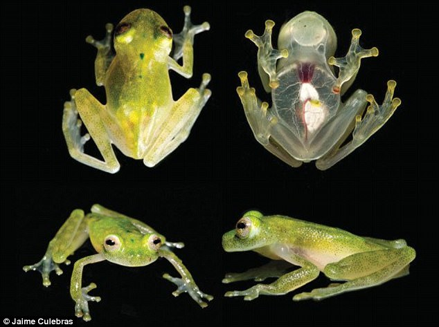 Ecuador glass frog (Hyalinobatrachium yaku). Photo: Jamie Culebras, Daily Mail
