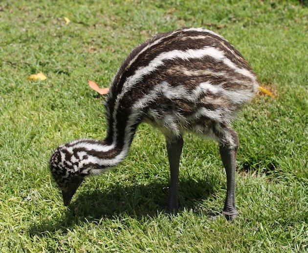 Emu chick (Dromaius novaehollandiae) one month old. Photo GusSar, Wiki Commons