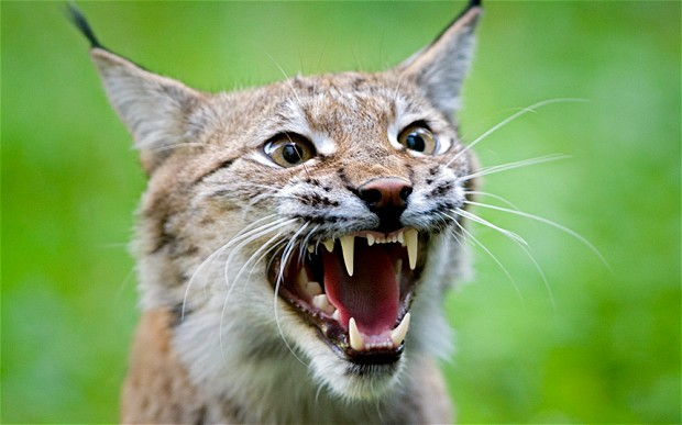 Eurasian lynx (Lynx lynx). Photo © ALAMY