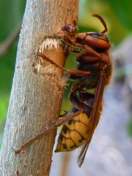 European hornet. Photo Trancelius, Wikicommons