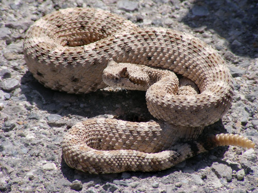 Fancy a snack anyone? Crotalus cerastes, Mesquite Springs, CA. Photo: Tigerhawkvok, Wikimedia Commons