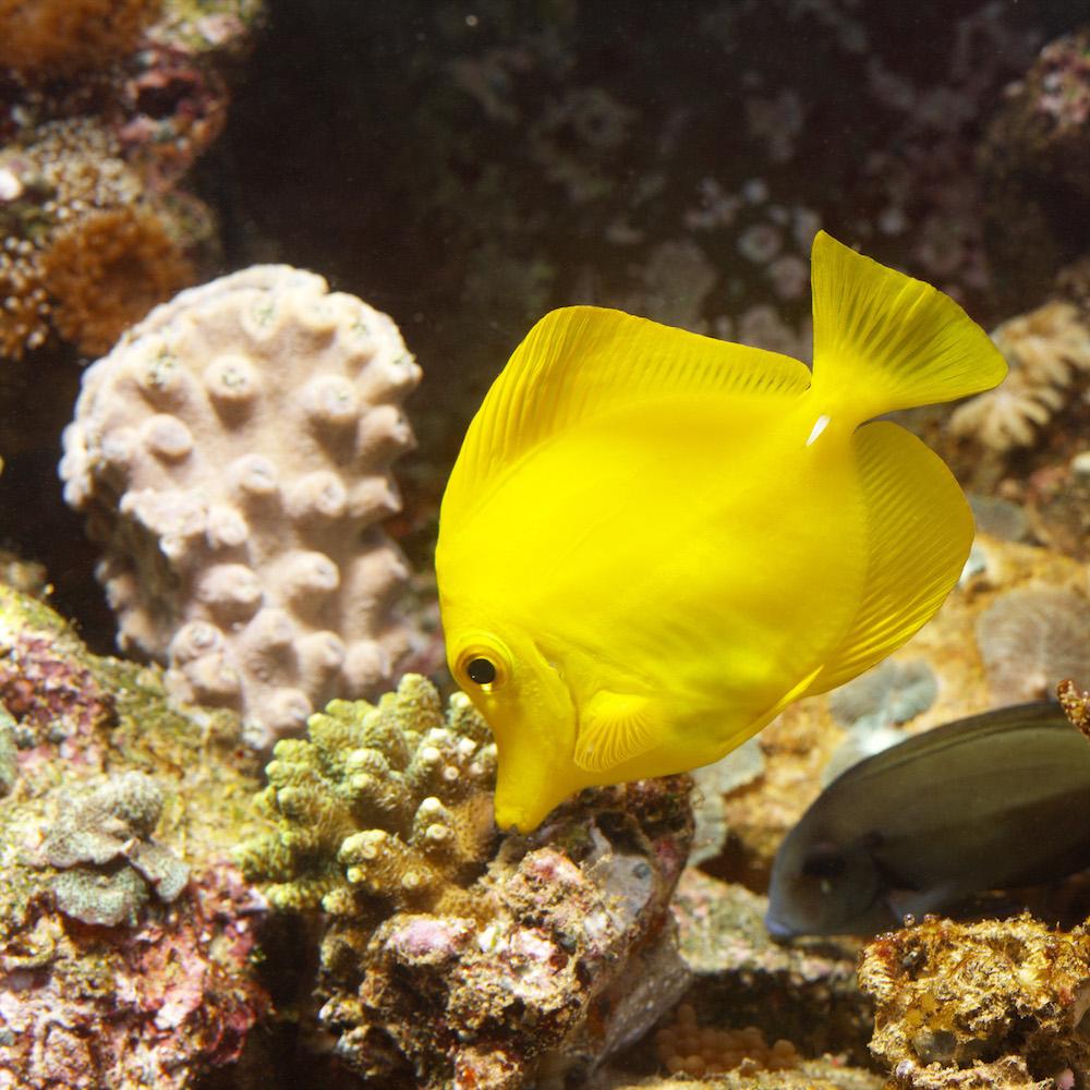 Watching fish has a calming effect - Lemon tang fish. Photo Animal Ark