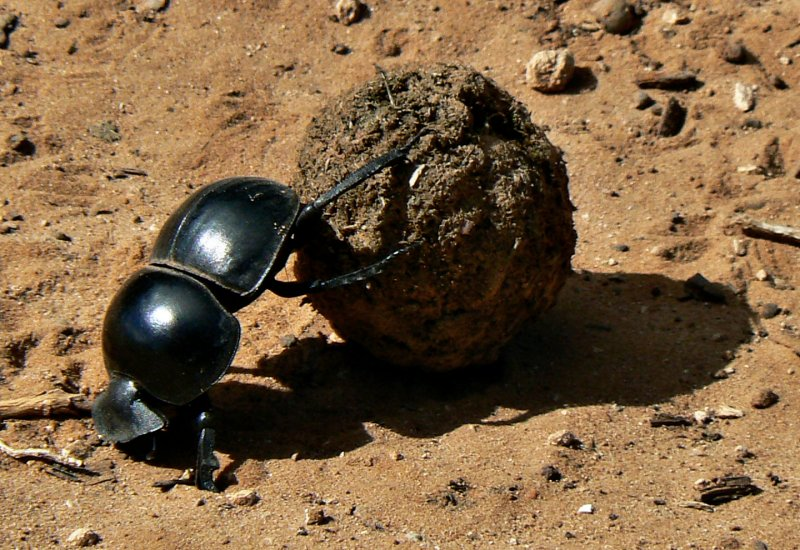 Flightless Dung Beetle (Circellium Bachuss) Addo Elephant National Park, South Africa. Photo: Kay Africa wikimedia commons