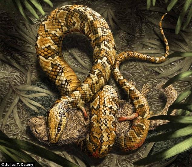 Four legged snake (Tetrapodophis amplectus). Photo Julius T Cstony via Dailymail, UK