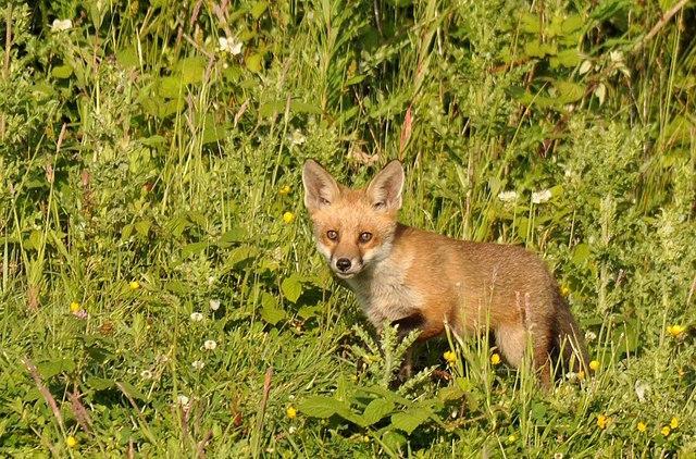 Fox cub, Rixton Clay Pits Nature Reserve. Photo Galatas, Wikicommons