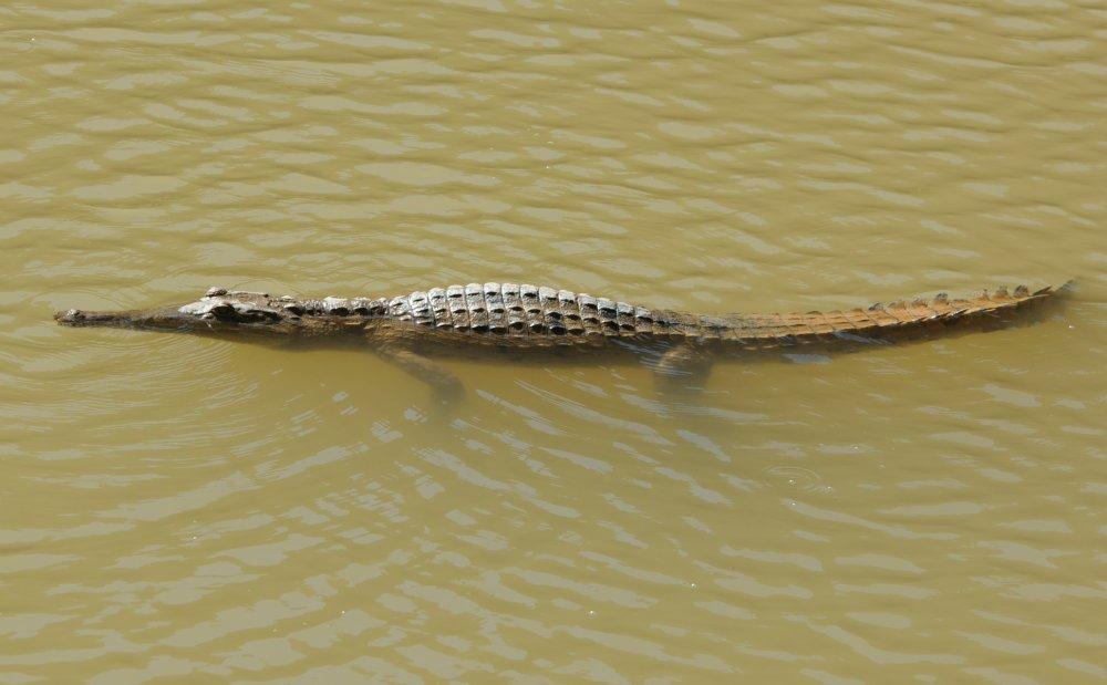 Freshwater crocodile (Crocodylus johnsoni) - Windjana Gorge. Photo Alan Hodson