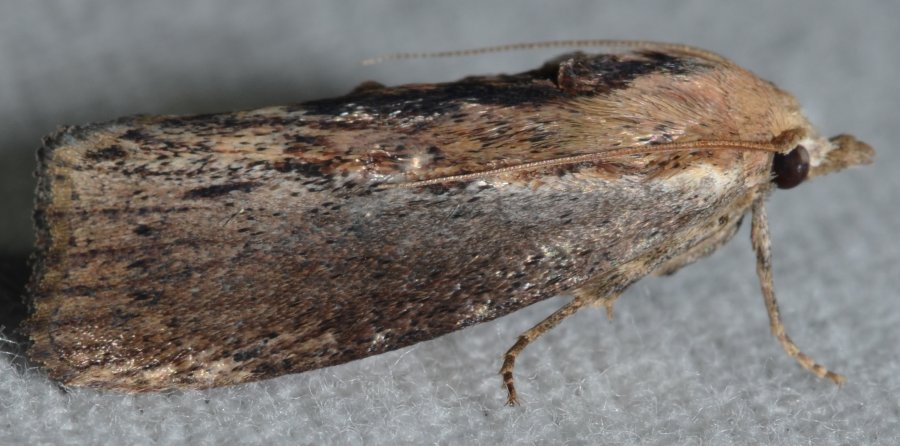 Galleria mellonella - Greater wax moth. Photo: Andy Reago / Chrissy McClarren, Wikimedia Commons