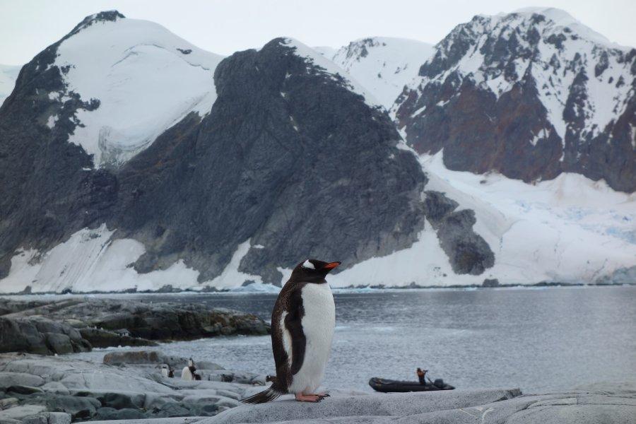 Gentoo penguin, Splendid Isolation, Antarctica. Photo: Animal Ark