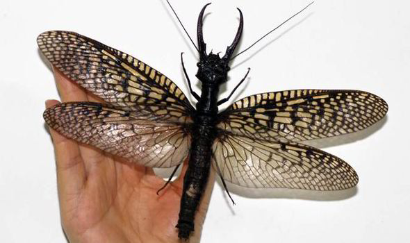 Giant dobsonfly. Photo CATERS Chinese news service