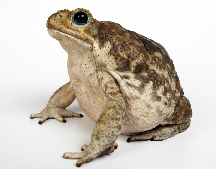 Giant Toad Cane Toad Rhinella marina. Photo: Animal Ark