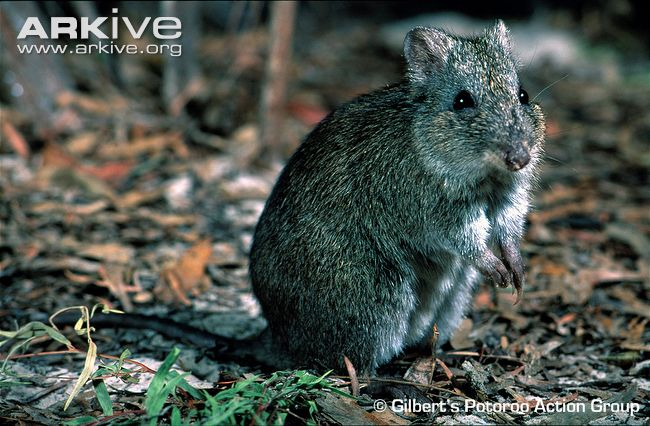 Gilberts potoroo standing on its hind legs