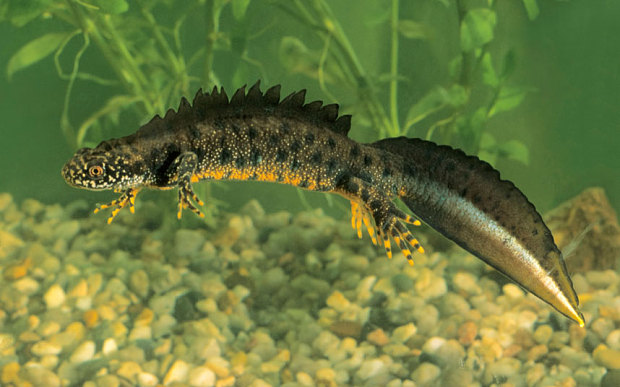 Great crested newt. Photo: Alamy, The Telegraph