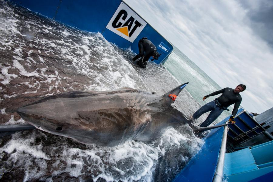 Great White shark Lydia. Photo credit Ocearch.org