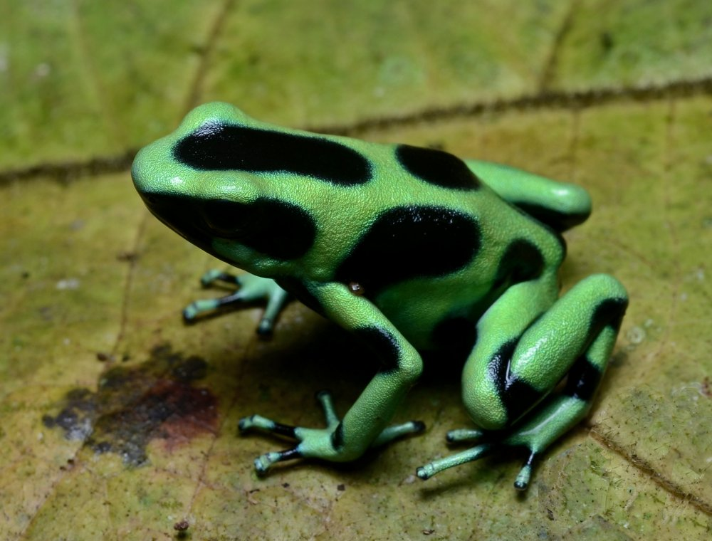 Green and black poison dart frog. Photo: Geoff Gallice, Wikimedia Commons